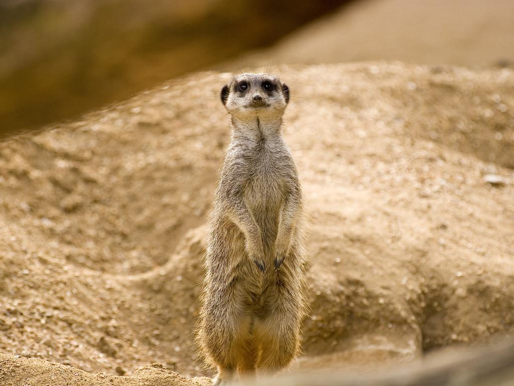 meerkat_5